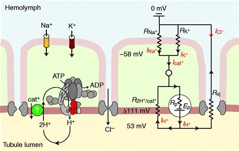 The V-type H+ ATPase: molecular structure and function